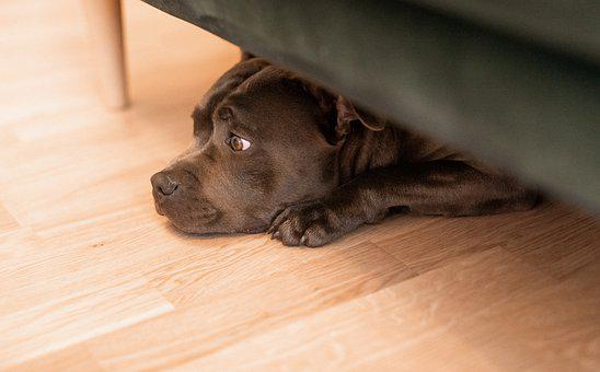 Dog, Canine, Pet, Domestic, Under The Couch, Animal