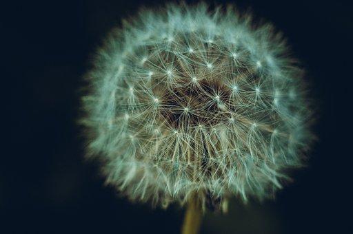 Dandelion, Flower, Seed Head, Flying Seeds, Flora