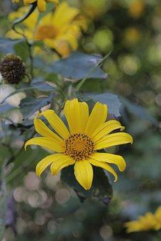 Mexican Sunflower, Flower, Plant, Nitobe Chrysanthemum