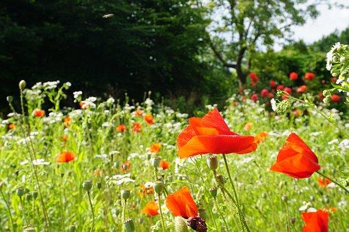Poppies, Flowers, Garden, Buds, Blossom, Bloom
