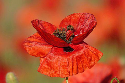 Poppy, Flower, Bee, Insect, Pollen, Nature, Bloom