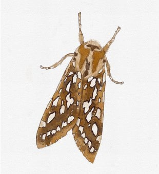 Silver-Spotted Tiger Moth, Moth