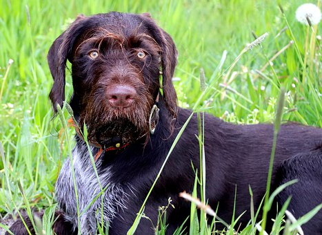 German Wirehaired Pointer, Dog, Pet, Animal