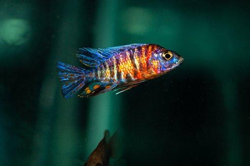 Fish, Animal, Aquarium, Pet, Swimming