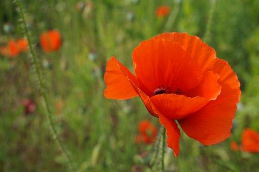 Poppy, Flower, Red Poppy, Klatschmohn, Blossom, Bloom