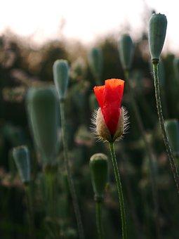 Poppy, Flower, Bud, Red Poppy, Red Flower, Bloom