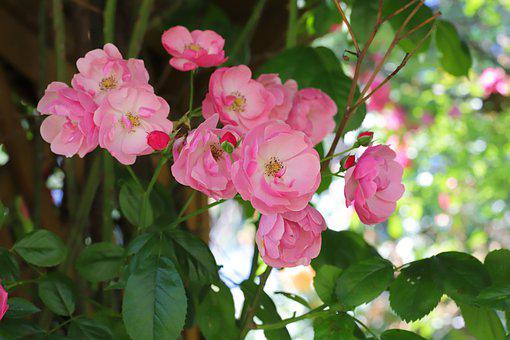Chinese Rose, Flowers, Plant, China Rose, Roses