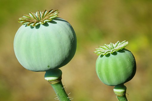 Poppy, Seed Pods, Plants, Seed Heads, Spring, Garden