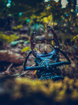 Stag Beetle, Beetle, Insect, Pest, Coleoptera