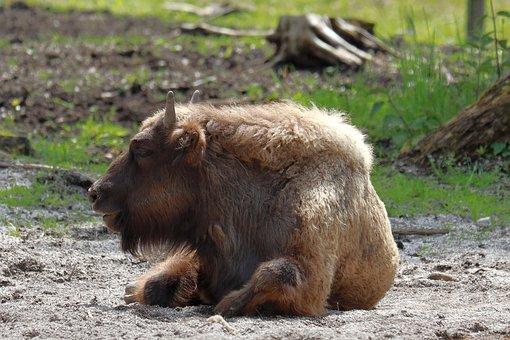 Wisent, Bison, Animal, European Bison