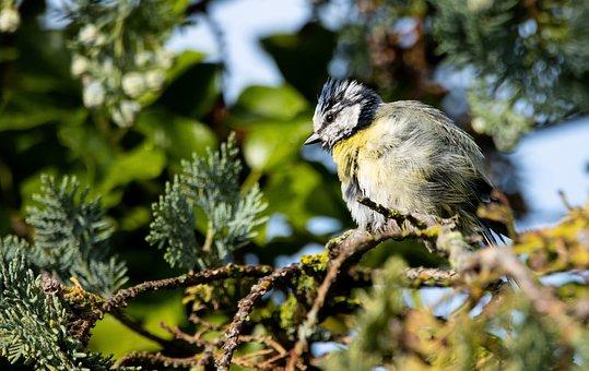 Great Tit, Bird, Animal, Feathers, Beak
