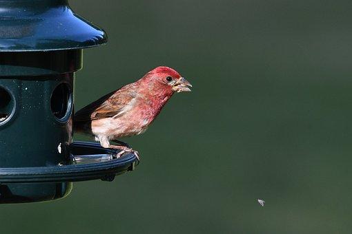 Bird, House Finch, Animal, Songbird, Nature, Feeder