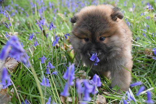 Eurasier, Dog, Puppy, Meadow, Flowers, Pet, Animal