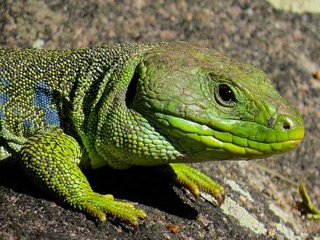 Lizard, Reptile, Scaly, Animal, Wilderness, Wild Animal