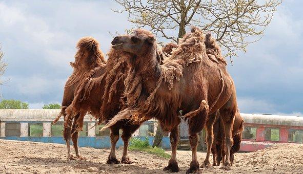 Camels, Animals, Desert, Mammals, Desert Animals