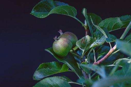 Apple, Fruits, Tree, Leaves, Plant, Organic, Apple Tree
