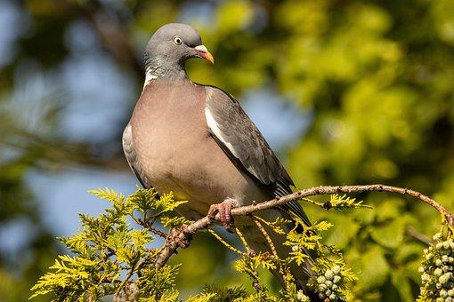 Dove, Branch, Bird, Bird Watching, Ave