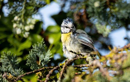 Blue Tit, Bird, Animal, Feathers, Beak