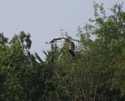 Stork, Bird, Flying, White Stork, Nature, Plumage, Wing