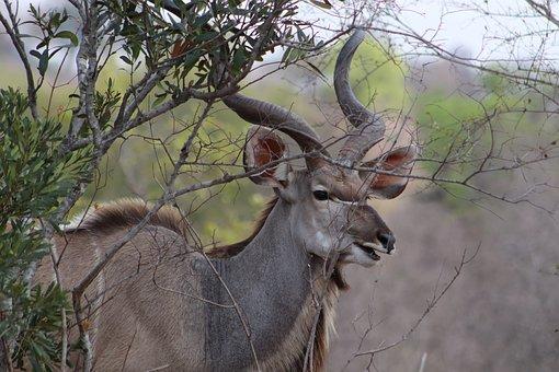 Bushbuck, Animal, Safari, Cape Bushbuck, Antelope