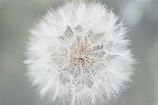 Flower, Dandelion, Wildflower, Seeds, Seed Head