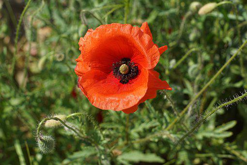 Poppy, Flower, Red Poppy, Petals, Poppy Petals, Bloom