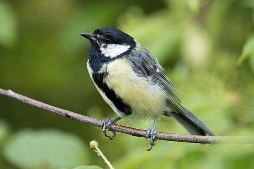 Great Tit, Bird, Animal, Feathers, Beak, Bird Watching