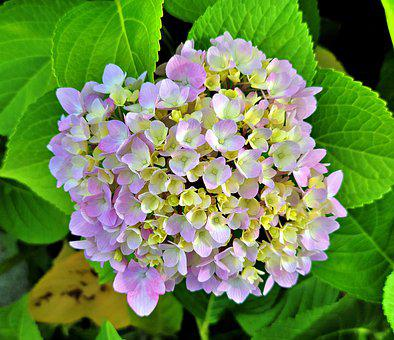 Flowers, Hydrangea, Petals, Leaves, Blossom, Bloom