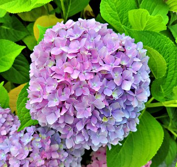 Flowers, Hydrangea, Petals, Purple Petals, Leaves