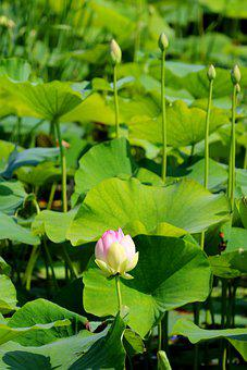Lotus, Flower, Pink Flower, Buds