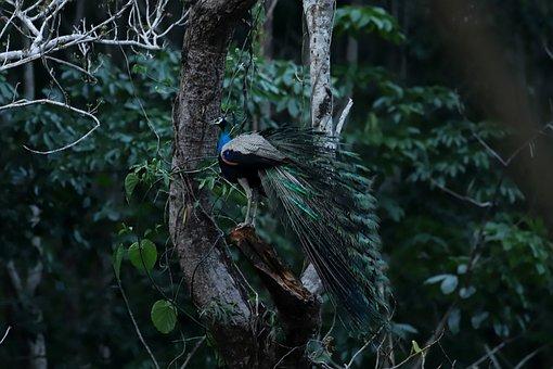 Peacock, Bird, Tree, Perched, Peafowl, Animal, Wildlife