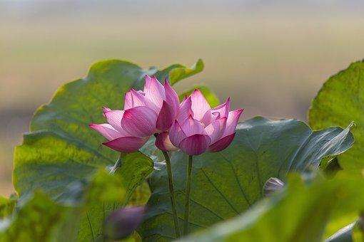 Lotuses, Flowers, Pink Flowers