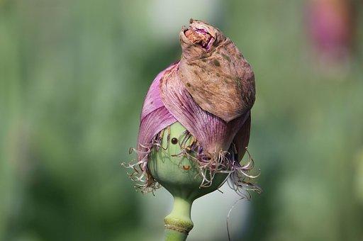 Poppy, Face, Smile, Seed Pod, Seed Head, Poppy Capsule