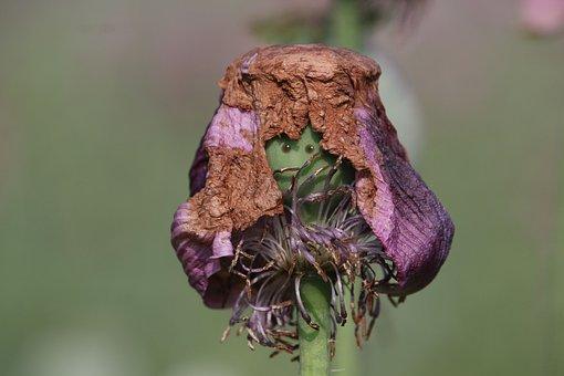 Poppy, Face, Anxious, Afraid, Seed Pod, Seed Head