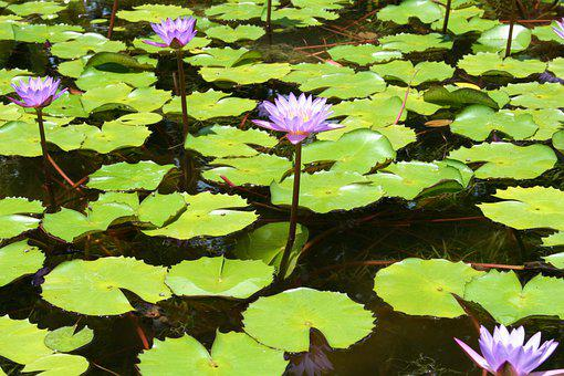 Water Lilies, Lotus Flowers, Lily Pads, Aquatic Plants