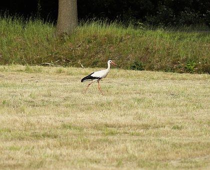Stork, Bird, White Stork, Nature, Plumage, Wing