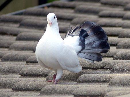 Bird, Dove, White Dove, Plumage, Feathers, Roof, Beak