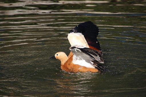 Ruddy Shelduck, Bird, Duck, Waterfowl, Water Bird