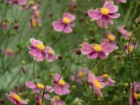 Flowers, Japanese Anemone, Purple Flowers, Bloom