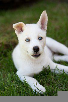Dog, Canine, Pet, Domestic, Blue Eyes, Grass, Nature