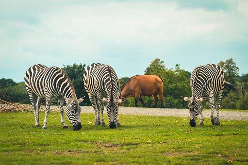 Zebras, Horses, Grazing, Graze, Equines, Zoo, Safari