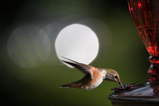 Hummingbird, Bird, Feeder, Animal, Feathers, Wings