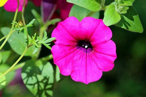 Petunia, Flower, Pink Flower, Leaves, Petals