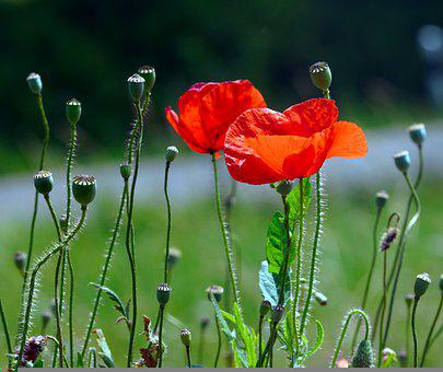 Poppies, Flowers, Buds, Blossom, Bloom, Red Flowers