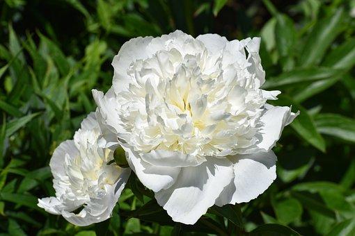 Peonies, Flowers, White Peonies, Petals, White Petals