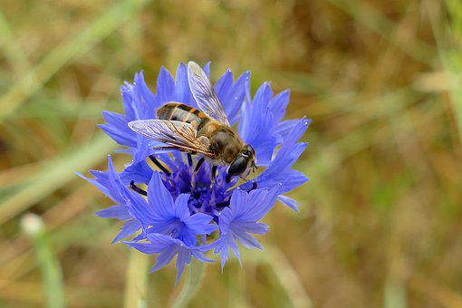 Hoverfly, Two-winged, Diptera, Bug, Fauna, Honey