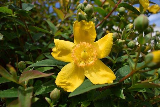 Flower, Plant, Leaves, Hypericum, Yellow Flower, Petals