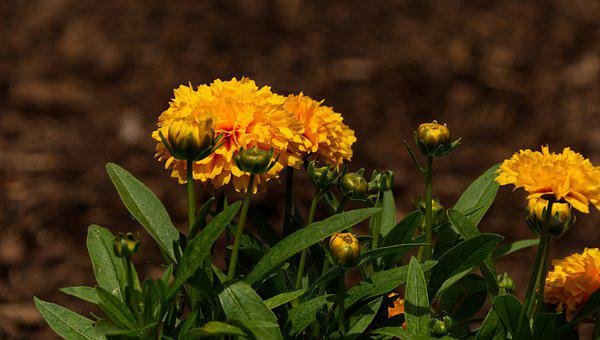Marigold, Flowers, Plants, Yellow Flowers, Petals, Buds