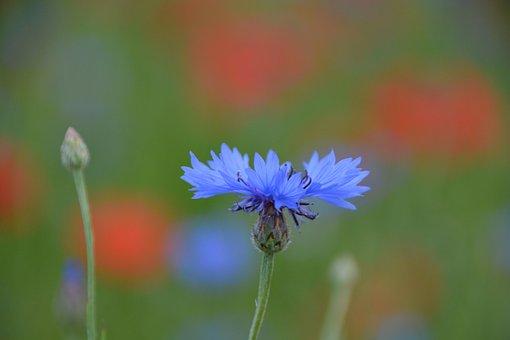 Flower, Cornflower, Petals, Buds, Stamen, Plant, Meadow