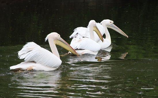 Pelicans, Birds, White Pelicans, Water Birds